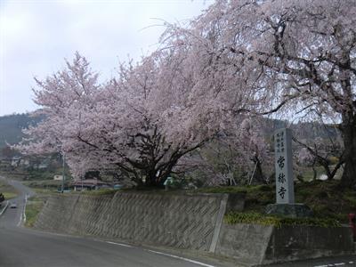 常称寺の桜1