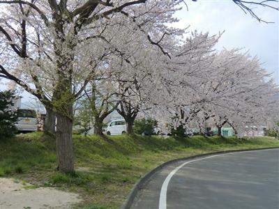 山又製作所の桜