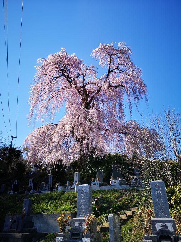 常称寺の桜2