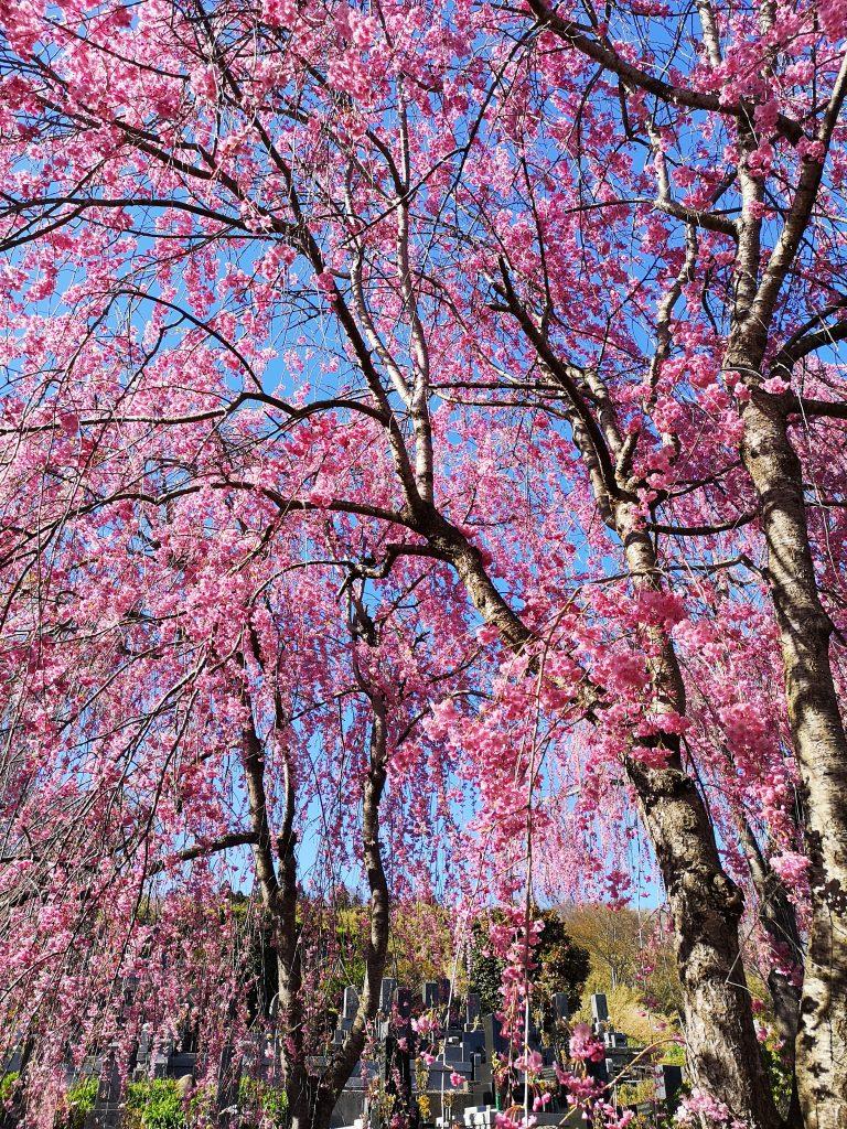 常称寺の桜3