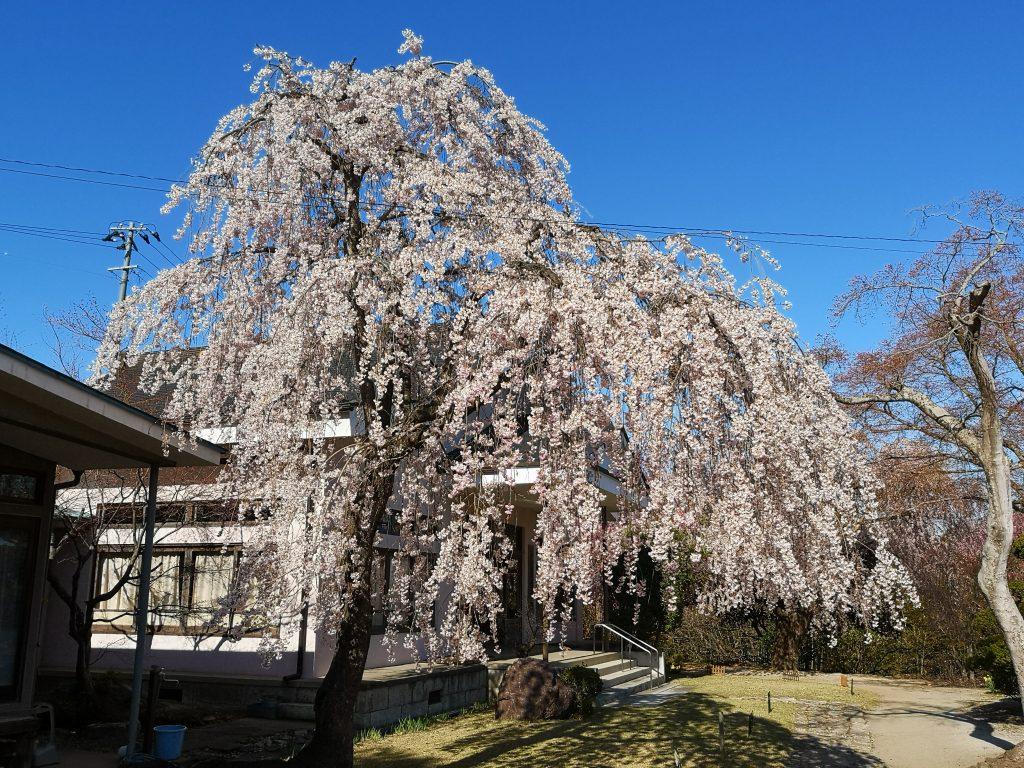 常称寺の桜5