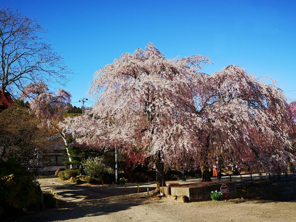 常称寺の桜6