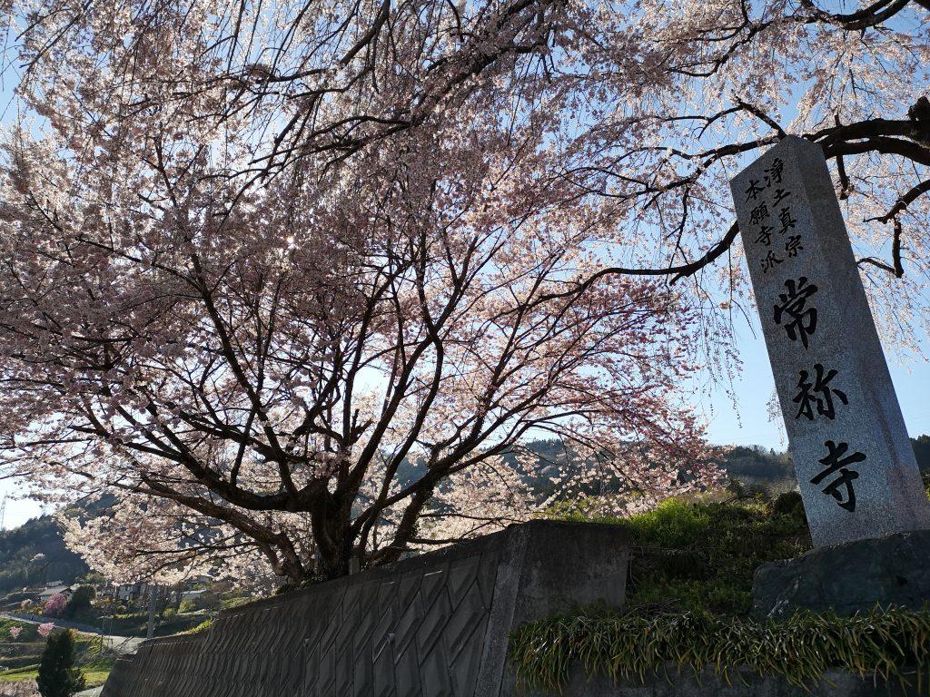 常称寺の桜8