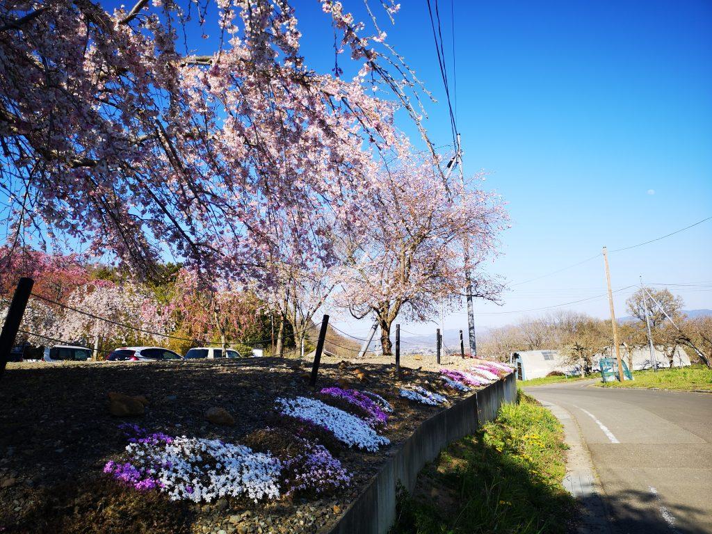 常称寺の桜7