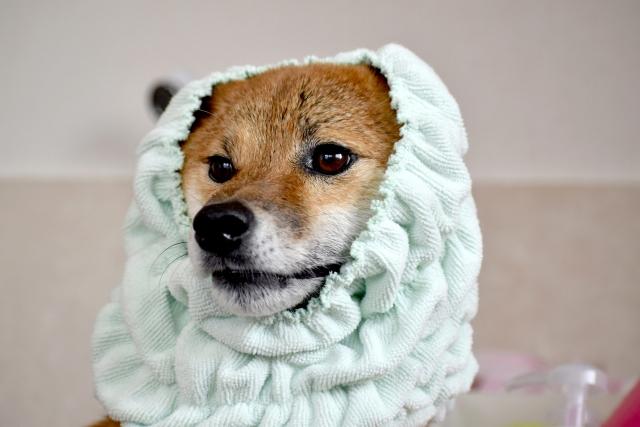 犬とタオル