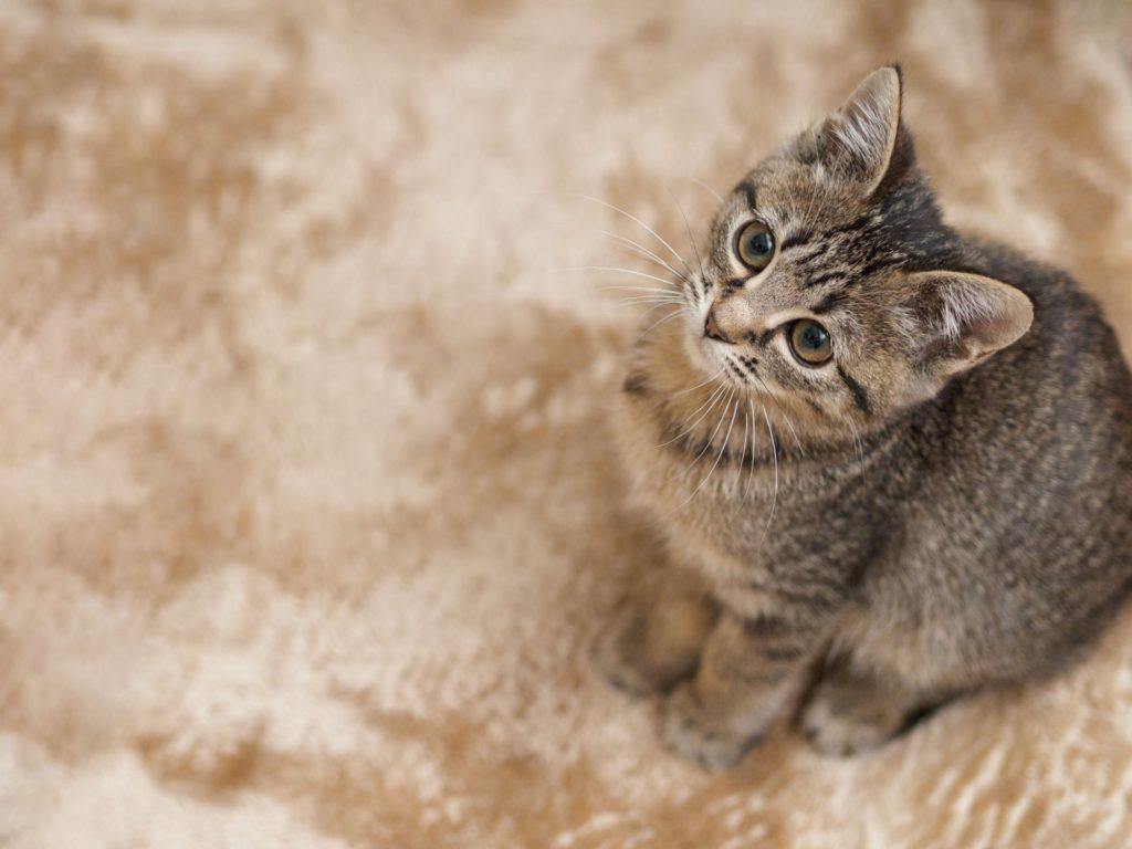 猫とカーペット